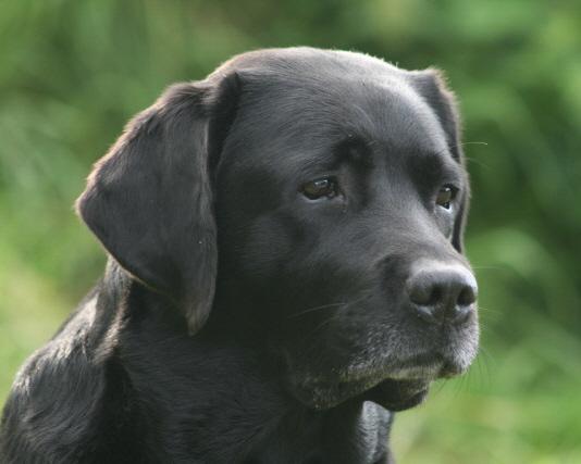 E Wurf Labrador Retriever Welpen Labradorwelpen Aus Schleswig Holstein Nordfriesland From Www Lovely Lab Affairs De