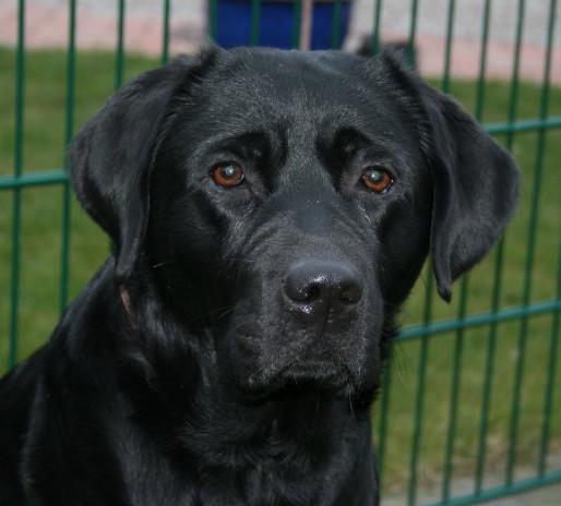 Labrador Retriever Welpen Vom Z 252 Chter Suchen Und Kaufen In Schleswig Holstein Hamburg